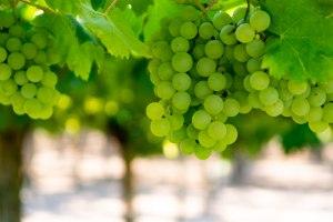 (uva vino bianco)