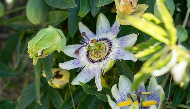 tisana-passiflora-ansia