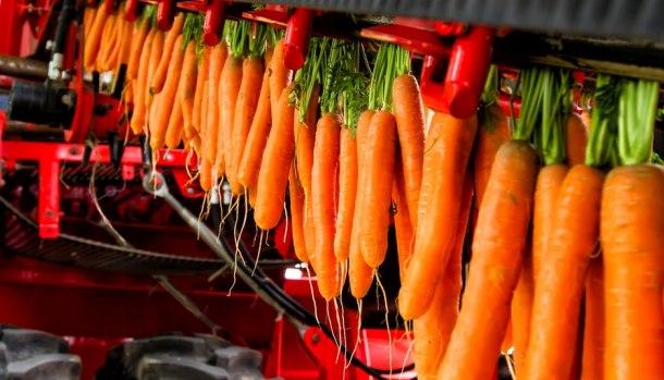 (carota-fucino)